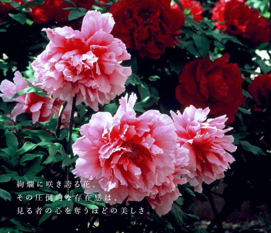 絢爛に咲き誇る花。その圧倒的な存在感は、見る者の心を奪うほどの美しさ。